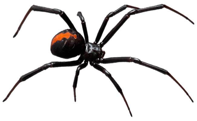 a large black widow spider